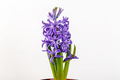 Violet hyacinth blooming flowers in pot Royalty Free Stock Photography