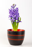 Violet hyacinth blooming flowers in pot Royalty Free Stock Photos