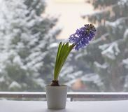 Violet hyacinth blooming flowers in pot. On winter nature blurred background royalty free stock image