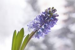 Violet hyacinth blooming flowers in pot. On winter nature blurred background stock images