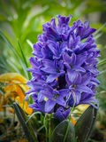 Violet hyacinth in blossom Royalty Free Stock Images