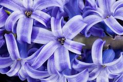violet  hyacinth close up Royalty Free Stock Photo