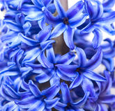 Violet hyacinth flower Stock Image
