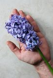 Hyacinth. Violet hyacinth in a man's hand Royalty Free Stock Photos