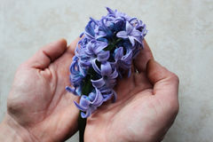 Hyacinth in hands. Violet hyacinth in man's hands Stock Images