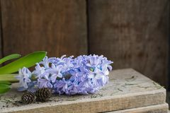 Violet hyacinth without pot on the wooden rustic background. Spring gardening concept. stock images