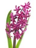 Violet hyacinth. Stock Images