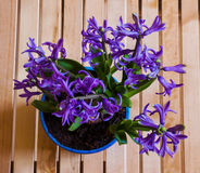 Violet hyacinths in blue pot. Wooden background Royalty Free Stock Image