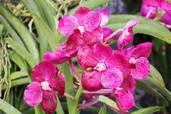 Violet Hybrid Vanda orchid Stock Photos