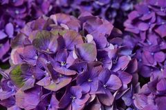 Violet hydrangea close-up Royalty Free Stock Photo