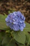 Violet Hydrangea Flower Immagini Stock Libere da Diritti