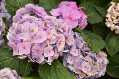 The Violet Hydrangea Flowers on the backyard royalty free stock image