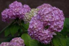 Violet hydrangea flowers Stock Photography