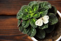 Violet i en kruka Fjärilen sitter på en växt arkivfoton
