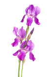 Violet iris Stock Photos