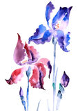 Violet iris. Handmade watercolour of violet iris royalty free illustration