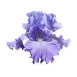 Violet iris Stock Images