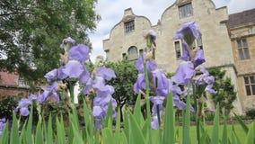 Violet Iris blüht im Wind, Abschluss oben, HD-Gesamtlänge stock video