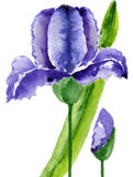 Violet iris. With bud and leaves  on a white background, watercolor illustration and paper texture Stock Image