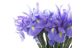 Violet iris close up isolated on white royalty free stock photos