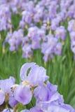 Violet iris flower Stock Image