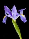 Violet iris flower Stock Photo