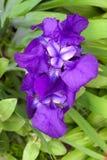 Violet iris flower closeup Stock Photos