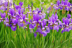 Violet Iris flower Stock Images