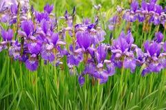 Violet Iris flower Stock Images