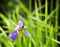 Violet iris flower Stock Photography