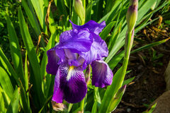 Violet iris flower. Impressive iris flower surrounded by green vegetation. The afternoon sunlight gives the photo a warm touch Royalty Free Stock Image