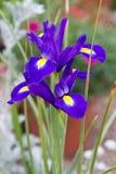 Violet Iris flower royalty free stock photography