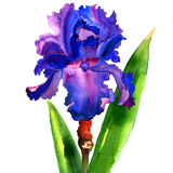 Violet iris flower isolated, watercolor illustration Stock Photo