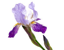 Violet iris flower Stock Photos
