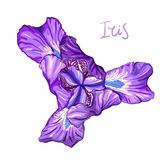 Violet Iris flower. Purple Iris flower on a white background. Hand drawn sketch. Template, design element for the floral composition Stock Photography