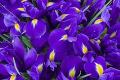 Violet iris flowers background Stock Photos