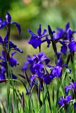 Violet iris flowers blooming on the garden background.  royalty free stock photo