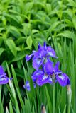 Violet iris flowers blooming on the garden background. stock photos