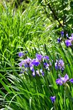 Violet iris flowers blooming on the garden background.  royalty free stock photography