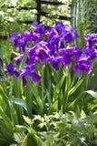 Violet iris flowers on flowerbed Stock Photos