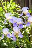 Violet iris flowers on flowerbed Royalty Free Stock Image