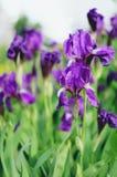 Violet iris flowers Royalty Free Stock Photos