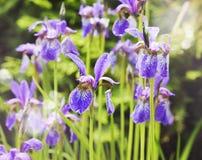 Violet iris flowers. Stock Images