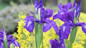 Violet Iris flowers in the wind, HD footage. Violet Iris flowers in the wind, close up, HD footage stock video footage