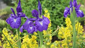 Violet Iris flowers in the wind, HD footage. Violet Iris flowers in the wind, close up, HD footage stock footage