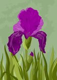 Violet iris on green Stock Image