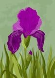 Violet iris on green. Background. Vector illustration Stock Image