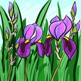 Violet iris hand-drawn on green background for your design. Illustration Stock Photo