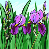 Violet iris hand-drawn on green background for your design. Vector. Illustration Royalty Free Stock Photo