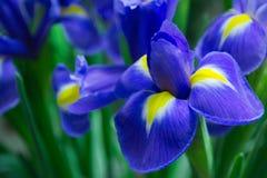 violet-iris-petals Royalty Free Stock Images